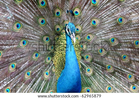 Beautiful spreading of Indian peacock. - stock photo