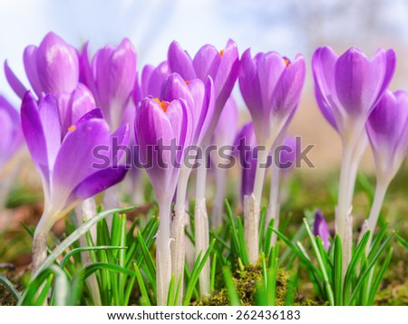Beautiful spring blooming purple crocus flowers on Alpine sunlight meadow. Stock photo with shallow DOF and blurred background. - stock photo