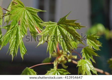 Beautiful spring branch maple leaves in the rays of the rising sun on blurred background - stock photo