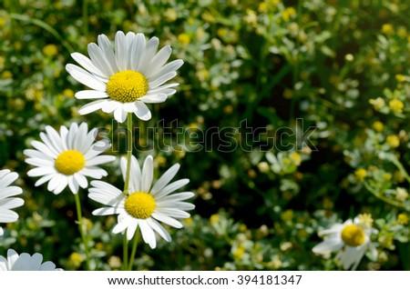 Beautiful spring daisy flowers - stock photo