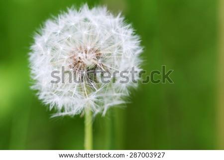 Beautiful spring dandelion flower outdoors - stock photo