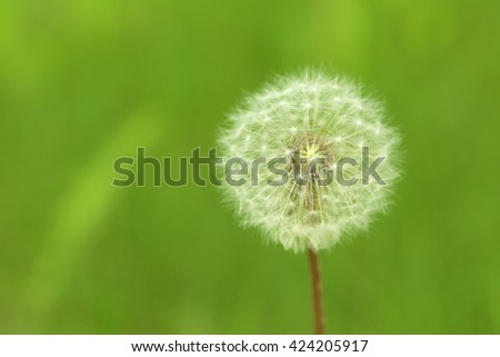 Beautiful spring dandelion flower outdoors, close up - stock photo