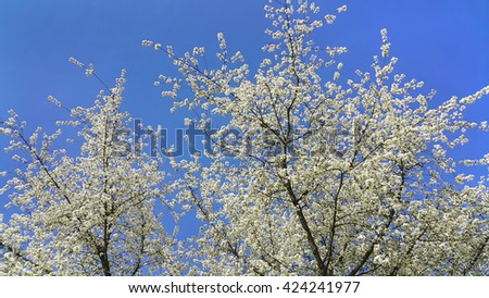 Beautiful spring flowering tree against a clear blue sky  - stock photo