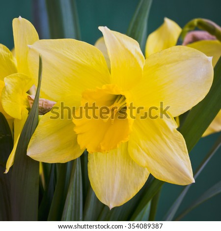 Beautiful spring flowers daffodils. Selective focus - stock photo