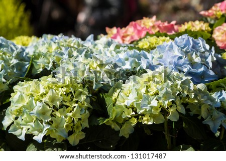 Beautiful spring flowers for sale at street market. Focus on blue hydrangea bushes. - stock photo