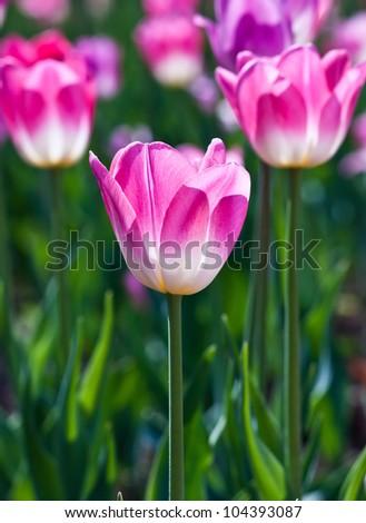 Beautiful spring flowers. Tulips. - stock photo