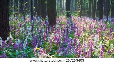 Beautiful spring forest. Blooming flowers primroses - stock photo