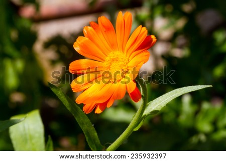 beautiful spring yellow flower on the background of the land, the first spring plants - stock photo