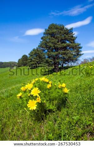 Beautiful spring yellow flowers  Pheasant's eye (Adonis vernalis) - stock photo