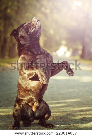 beautiful staffordshire bull terrier dog puppy in autumn nature - stock photo