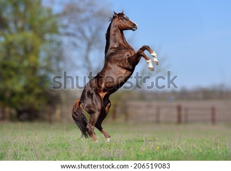 Beautiful stallion Thoroughbred breed, great-grandson of Secretariat Sports Meadow. Horse candles on a blurred background - stock photo