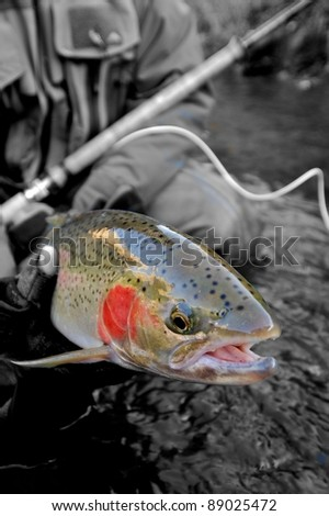 Beautiful steelhead trout caught while fly fishing - stock photo