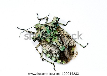 beautiful stinkbug - stock photo