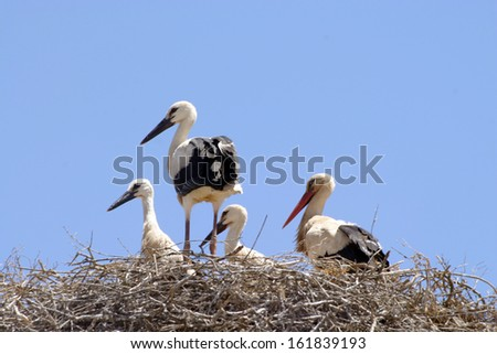 beautiful storks, nature and wildlife photo - stock photo