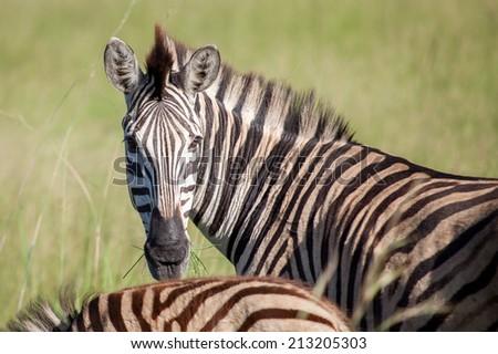 Beautiful striped zebra in a grass field in South Africa - stock photo