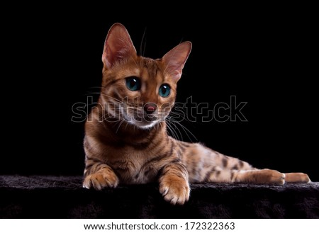 Beautiful stylish Bengal cat. Animal portrait. Bengal cat is lying. Black background. Colorful decorations. Collection of funny animals - stock photo