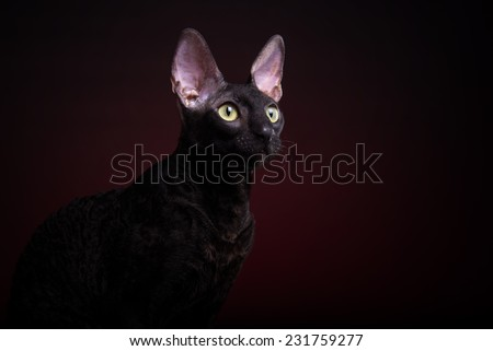 Beautiful stylish black cat. Animal portrait. Bengal cat is lying. Red background. Collection of funny animals - stock photo