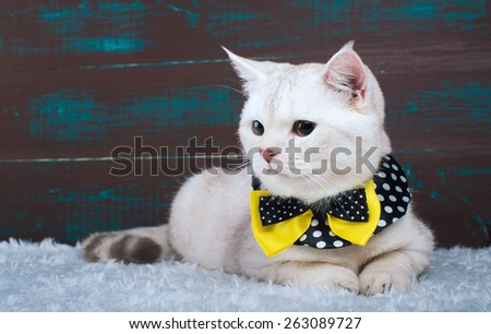 Beautiful stylish british cat. Animal portrait. British cat with bow-tie is lying. Wood background. Colorful decorations. Collection of funny animals - stock photo