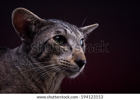 Beautiful stylish oriental cat. Animal portrait. Oriental cat is lying. Red background. Collection of funny animals - stock photo