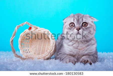 Beautiful stylish purebred british cat. Animal portrait. Purebred cat is lying. Blue background. Colorful decorations. Collection of funny animals - stock photo