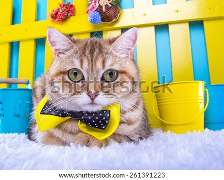 Beautiful stylish purebred british cat. Animal portrait. Purebred cat is lying. Blue background. Colorful decorations - stock photo