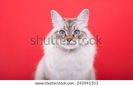 Beautiful stylish purebred cat. Animal portrait. Purebred cat is sitting. Red background. Colorful decorations. Collection of funny animals - stock photo