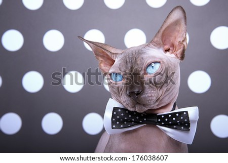 Beautiful stylish purebred cat. Animal portrait. Purebred cat with bow-tie is sitting. Black background - stock photo