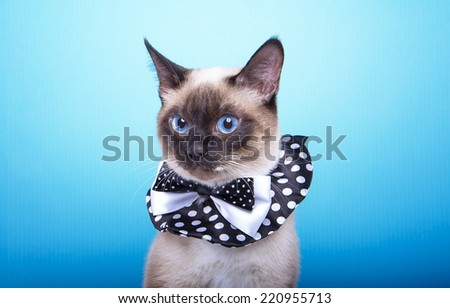 Beautiful stylish Siamese cat. Animal portrait. Siamese cat with bow-tie is sitting. Blue background. Colorful decorations. Collection of funny animals - stock photo