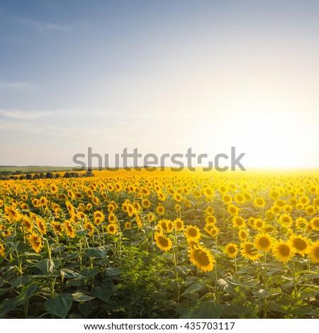 beautiful summer sunflower rural field at the sunset - stock photo