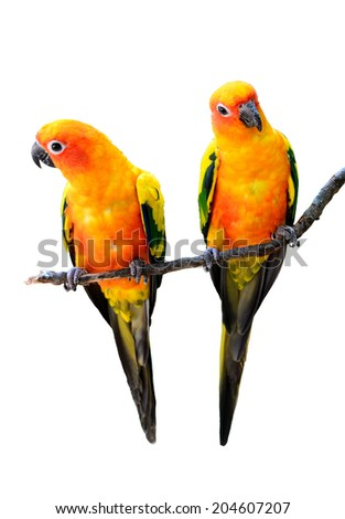 Beautiful Sun Conure birds isolated on white background. - stock photo