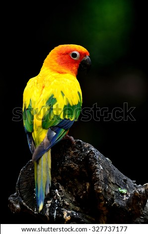 Beautiful Sun Conure, the yellow parrot bird stand on the log with dark and black background - stock photo