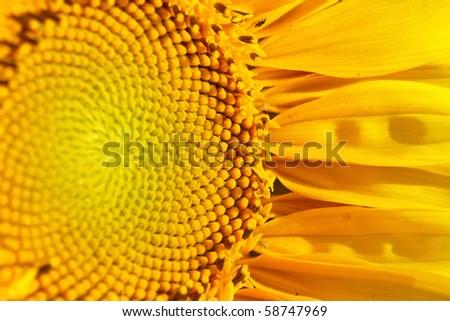Beautiful sunflower - stock photo