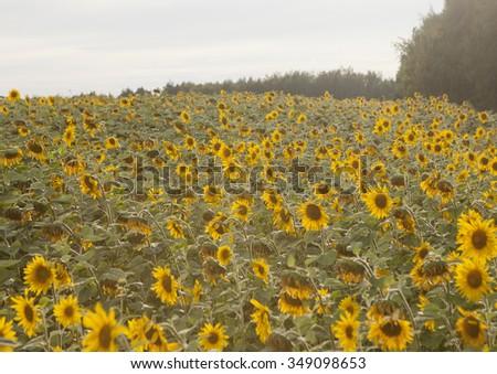 Beautiful sunflower field at sunset. - stock photo