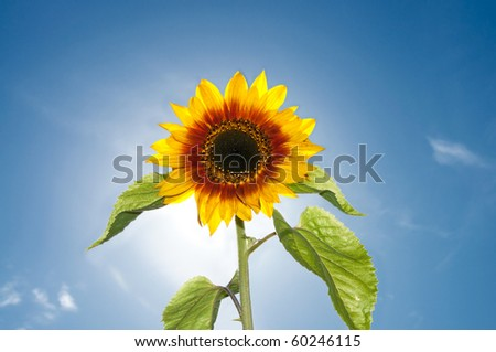 Beautiful Sunflower Flower against Bright Sunshine and Blue Sky with Clouds - stock photo