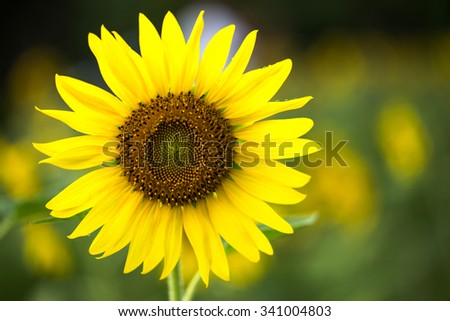 beautiful sunflower in  sunflower field  - stock photo