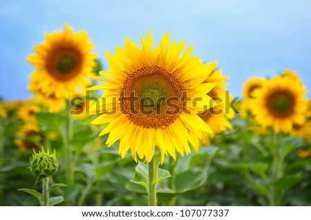 Beautiful sunflower in the field. Central composition, front view. - stock photo