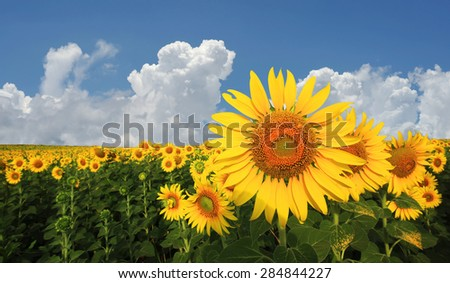 beautiful sunflower in the field with beautiful sky background - stock photo