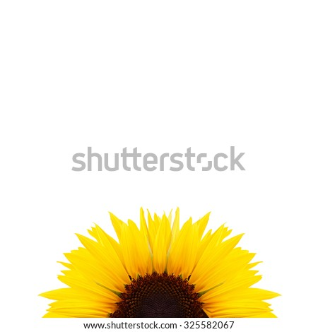 Beautiful sunflower isolated on a white background - stock photo