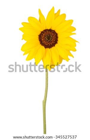 Beautiful sunflower isolated on white - stock photo