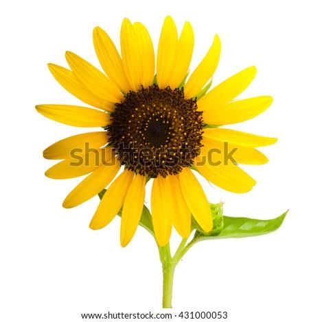 Beautiful sunflower isolated on white background - stock photo