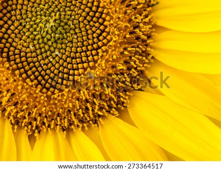 Beautiful sunflower - macro shot - stock photo