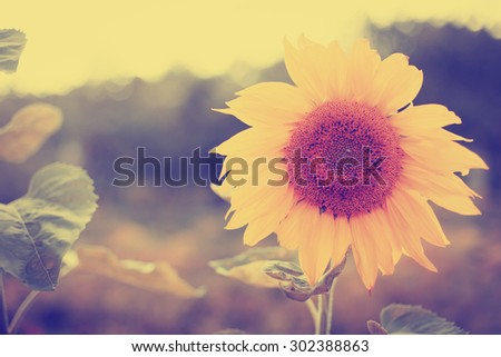 Beautiful sunflower/ Toned image with summer landscape  - stock photo