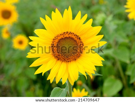Beautiful sunflower with bright yellow with more sunflowers of background - stock photo