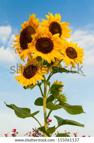 Beautiful sunflowers bloom standing tall against a cloud-draped blue sky. - stock photo