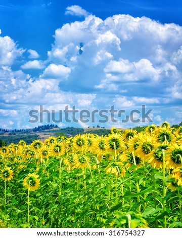 Beautiful sunflowers field, clear autumnal sunny day, agricultural landscape, blooming big yellow flowers, beauty of autumn nature concept - stock photo