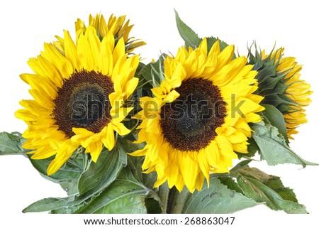 Beautiful sunflowers isolated - stock photo