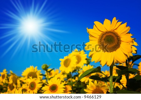 beautiful sunflowers with blue sky and sunburst - stock photo