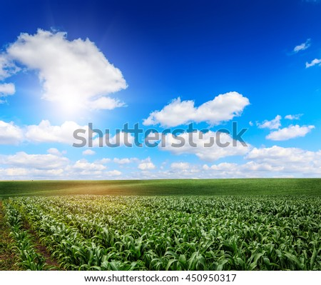 Beautiful sunny day over the green large field of corn. Idea concept corn harvest. majestic rural landscape with blue sunny sky with clouds. creative image. beauty of the world. use as background - stock photo