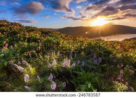 beautiful sunrise and wildflowers at rowena crest viewpoint, Oregon. - stock photo