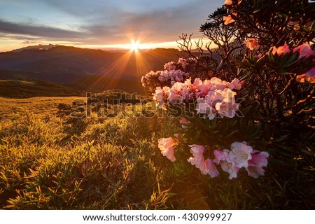 Beautiful sunrise scenery of Hehuan Mountain in central Taiwan in springtime, with lovely Alpine Azalea (Rhododendron) blossoms on grassy fields & sunrays shining through rosy clouds in the background - stock photo